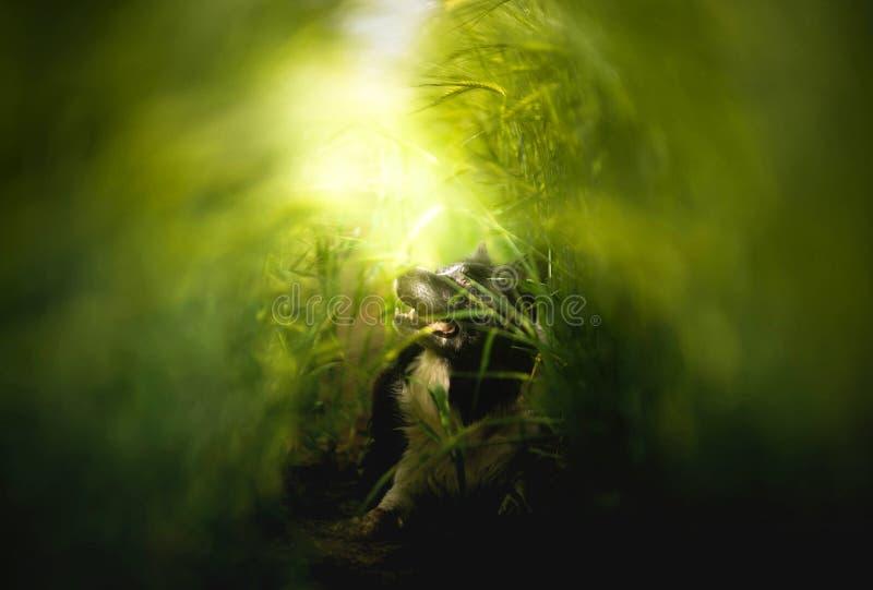 Hund - gräns Collie Lying på fält - klartecken som kommer från ovannämnt - fantasiatmosfär royaltyfri bild