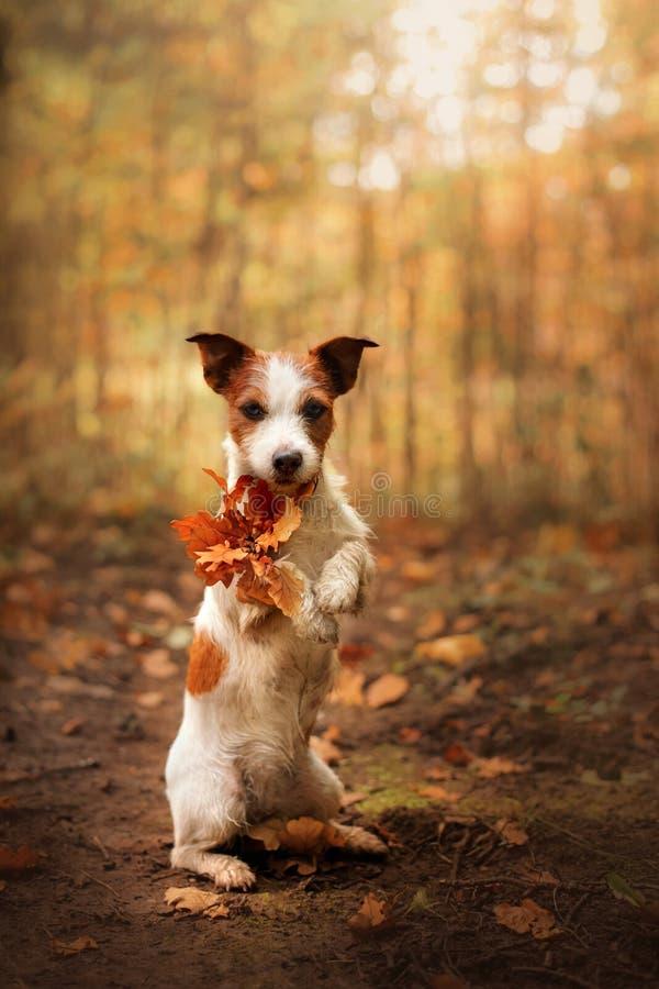 Hund hält gelbes Blatt der Tatzen Ergebener Jack Russell Terrier im Herbst im Park stockbilder