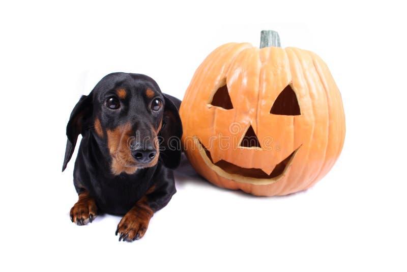 Download Hund halloween arkivfoto. Bild av pumpa, valp, husdjur - 225406