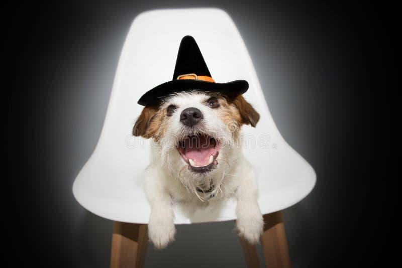 Hund halloween eller karnevaldräkt Rolig stålar russell som sitter på en nordisk stol som kläs som en trollkarl eller en häxa arkivfoto