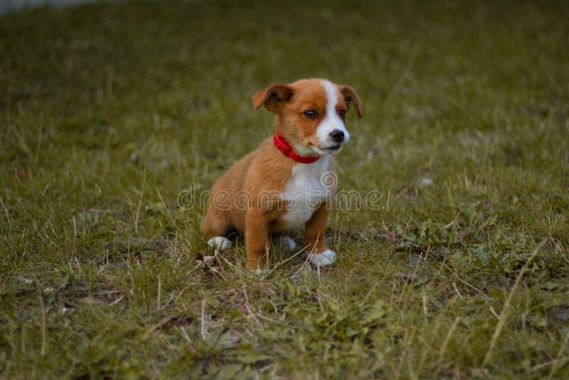 Hund, Haustier, Tier, Welpe, Terrier, nett, Steckfassungsrussell-Terrier, Spürhund, Eckzahn, Gras, Weiß, Braun, Steckfassung, Rus stockbild