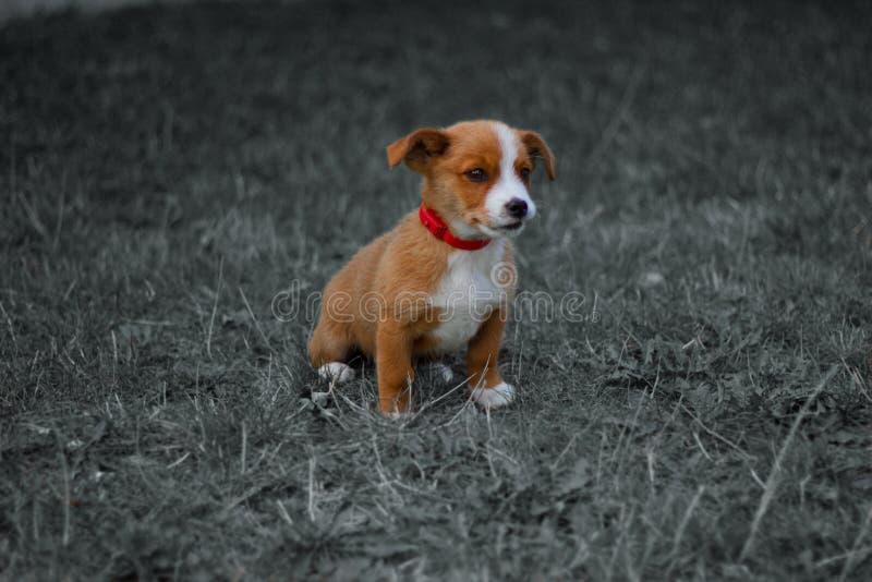 Hund, Haustier, Tier, Welpe, Terrier, nett, Steckfassungsrussell-Terrier, Spürhund, Eckzahn, Gras, Weiß, Braun, Steckfassung, Rus lizenzfreie stockbilder