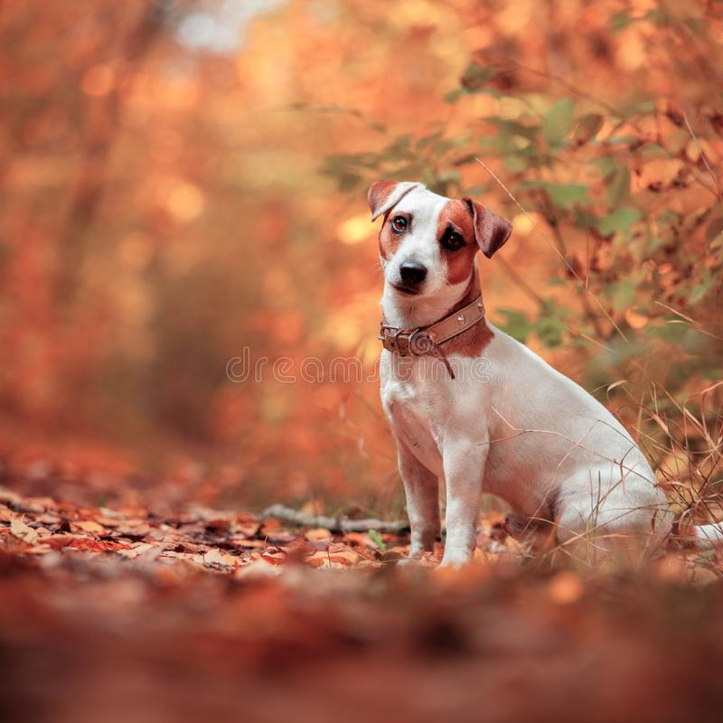 Hund am Herbst stockfotografie