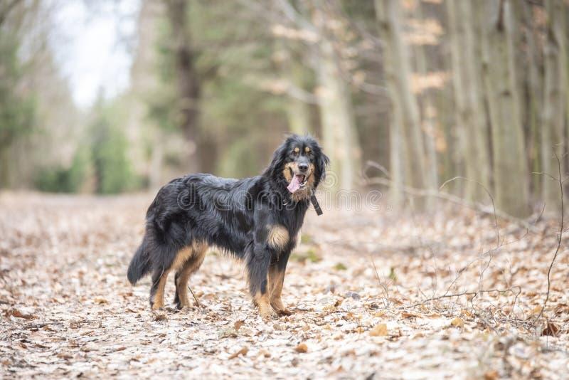 Hund-hovawart, das Zucht aus Deutschland schützt stockfotos