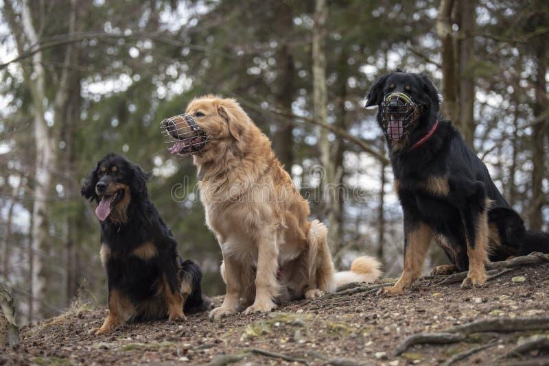Hund-hovawart, das Zucht aus Deutschland schützt stockfoto