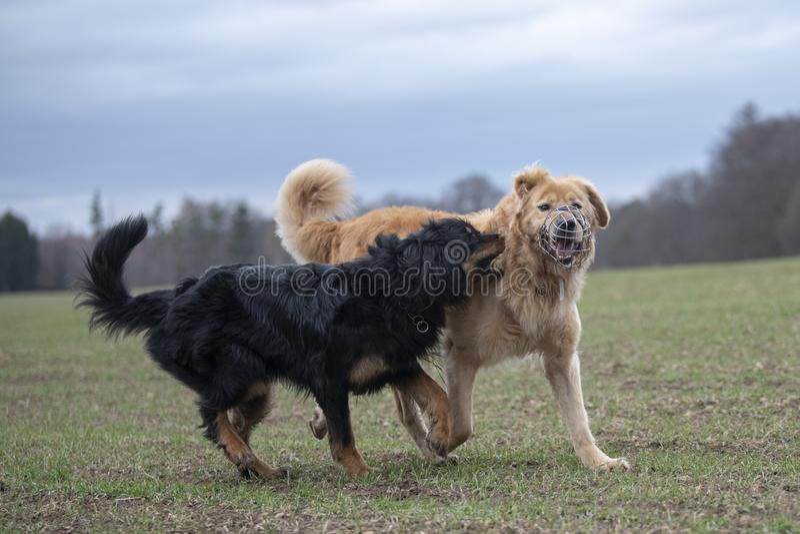 Hund-hovawart, das Zucht aus Deutschland schützt stockfotografie