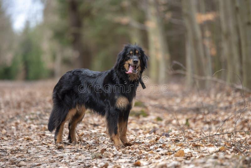 Hund-hovawart, das Zucht aus Deutschland schützt lizenzfreies stockbild