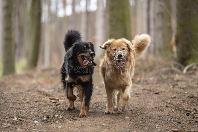 Hund-hovawart, das Zucht aus Deutschland schützt lizenzfreies stockfoto