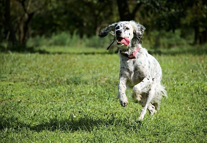 Hund husdjur, spring, aktiv, energi som är lycklig royaltyfri fotografi
