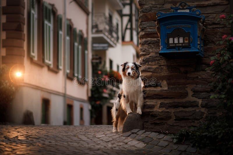 Hund i aftonen i ljuset av lyktor Australisk herde i stad Husdjur i centret royaltyfria foton
