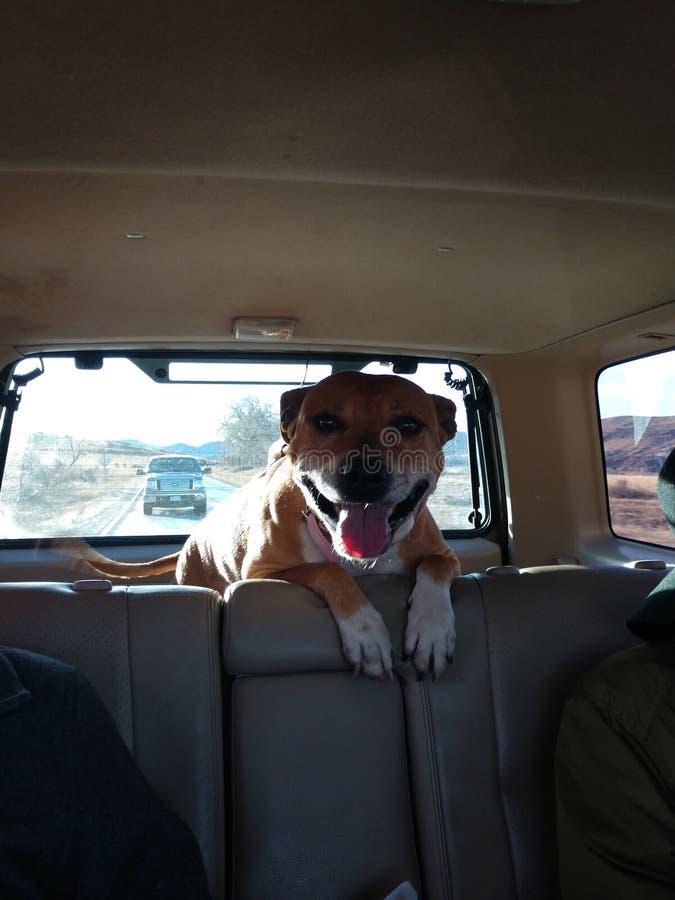 Hund i bil arkivfoto