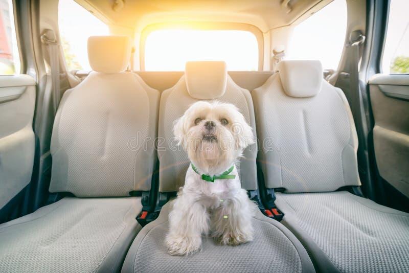 Hund i bilen som bara sitter arkivfoto