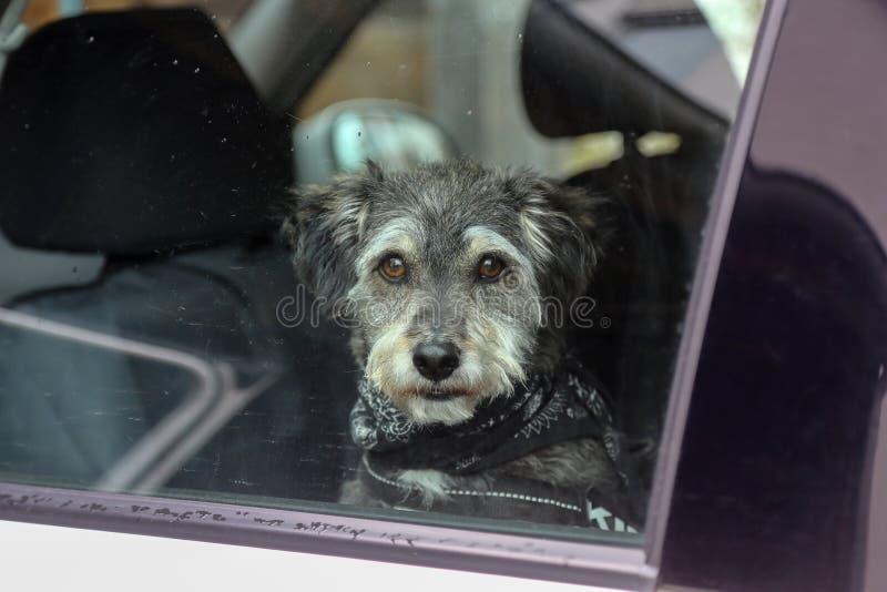 Hund i bilfönstret royaltyfri foto
