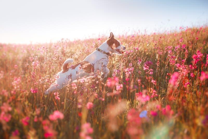 Hund i blommor Jack Russell Terrier royaltyfri bild