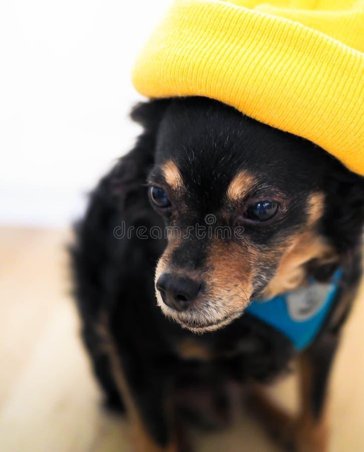 Hund i den gula hatten, stående arkivfoto