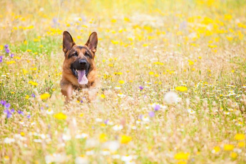 Hund i en äng royaltyfri bild
