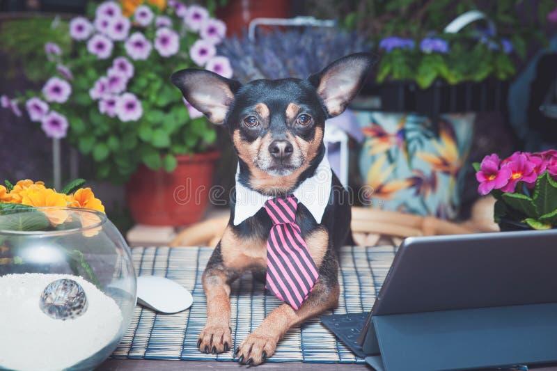 Hund i en bandfreelancer som arbetar på ett skrivbord mot bakgrunden av att blomma fält, avlägset arbete royaltyfria bilder