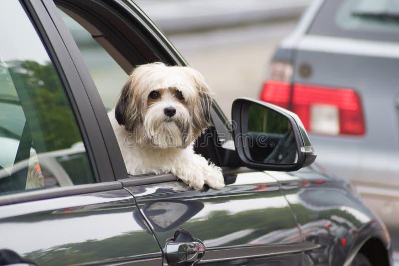 Hund i en bil som ser till och med fönster royaltyfria bilder