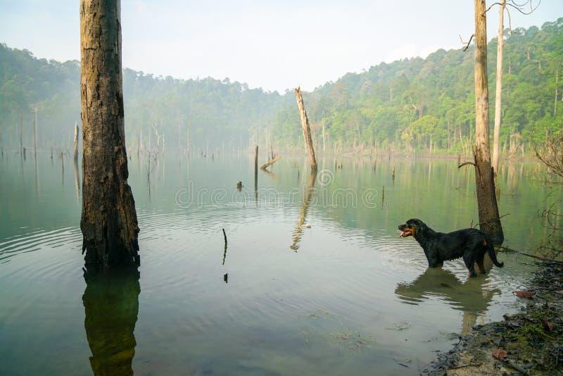 Hund i en dimmig träsksjö fotografering för bildbyråer
