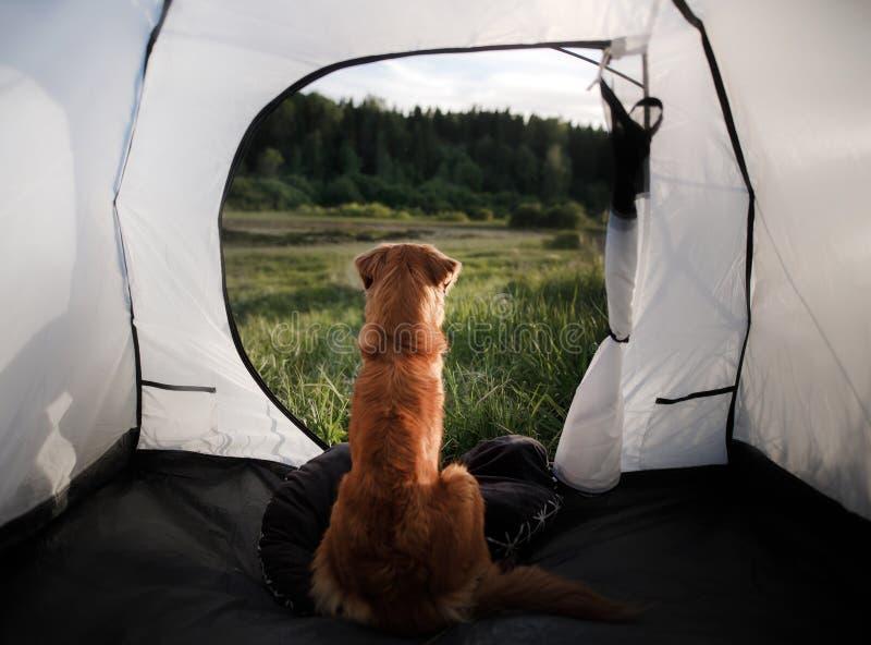 Hund i ett tält på naturen för sommarterritorium för katya krasnodar semester royaltyfria foton