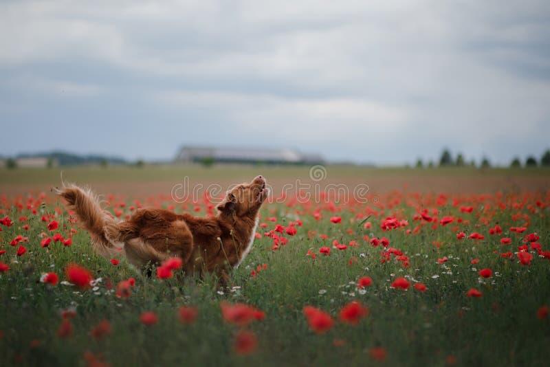 Hund i fältet av vallmo Nova Scotia Duck Tolling Retriever Toller royaltyfri foto