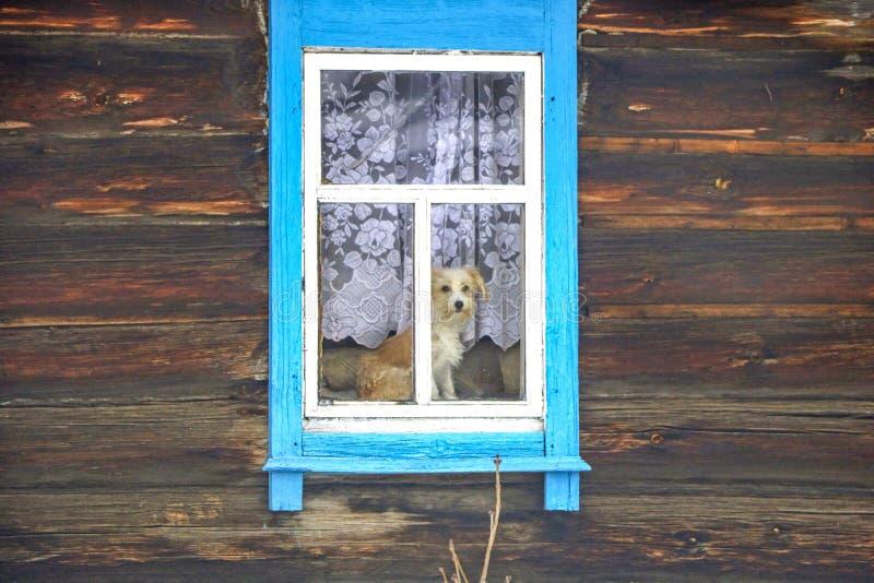Hund i fönstret av ett trähus arkivbilder