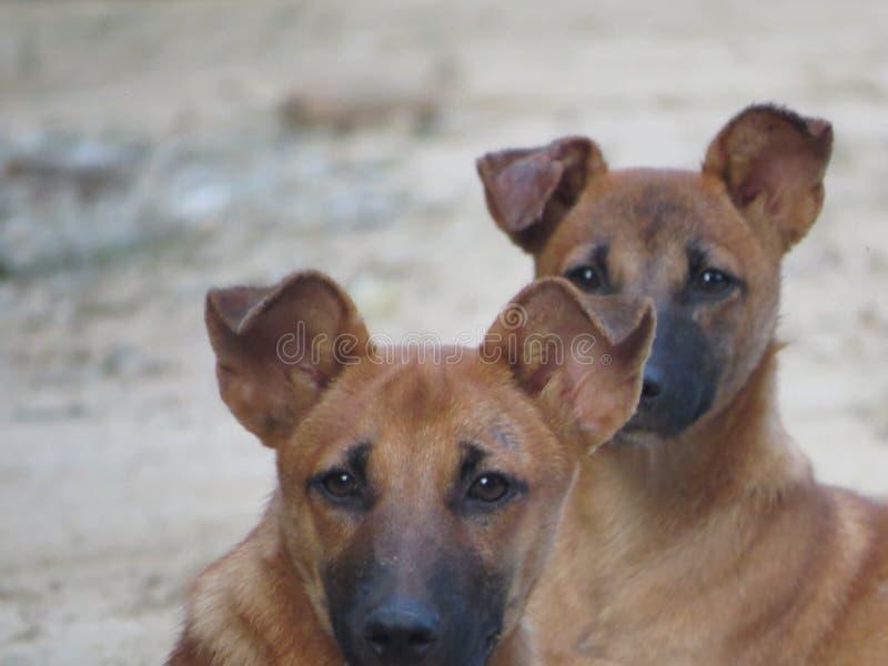 Hund i feld Sri Lanka fotografering för bildbyråer