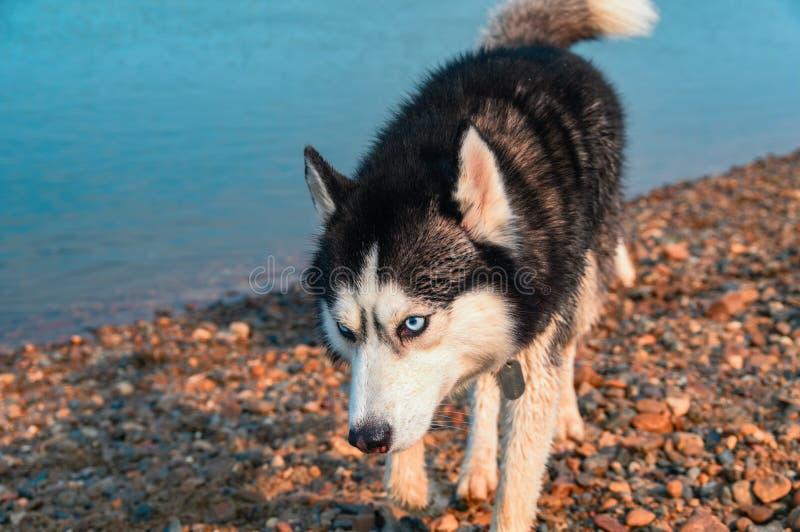 Hund i ferie Bedöva den smarta trevliga fluffiga svarta siberian skrovliga hundståenden arkivfoto