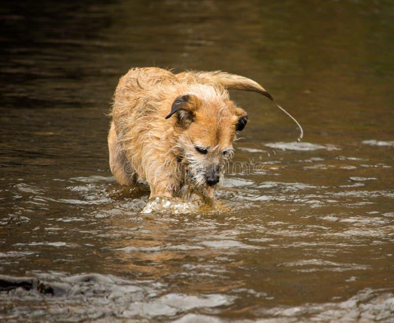 Hund i floden royaltyfri fotografi