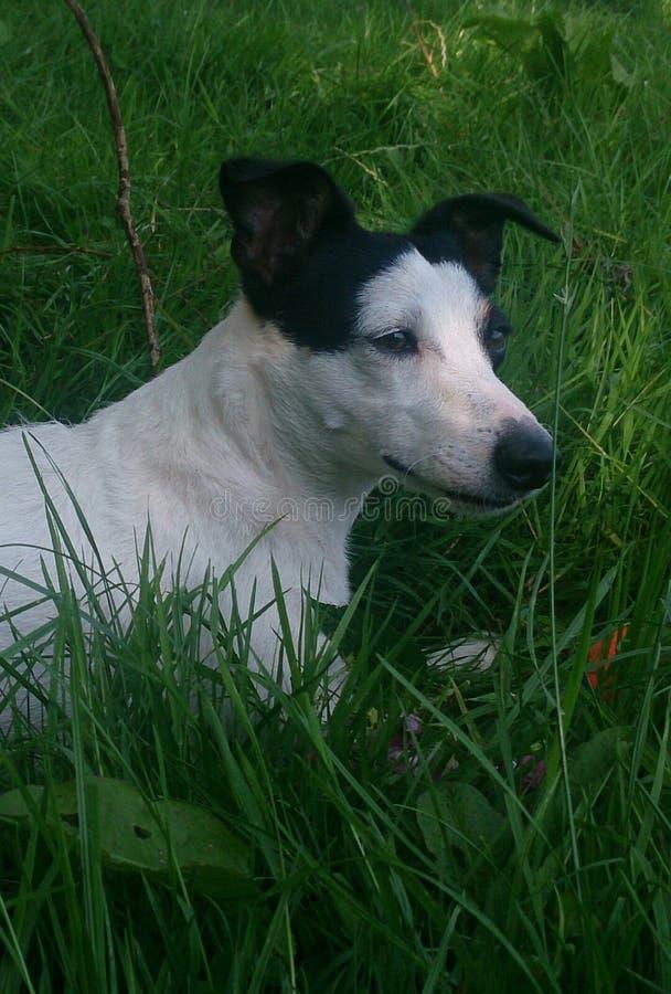 Hund i grasna fotografering för bildbyråer