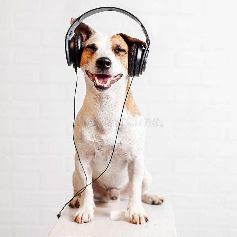 Hund i hörlurar som lyssnar till musik arkivfoton
