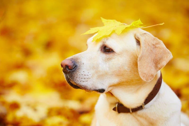 Hund i höst royaltyfria foton