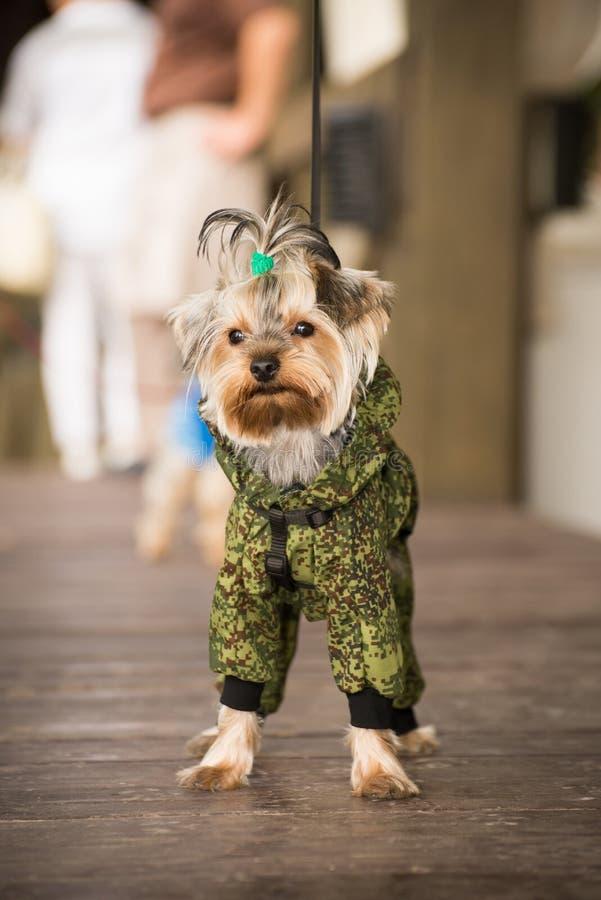 hund i kläder royaltyfri foto