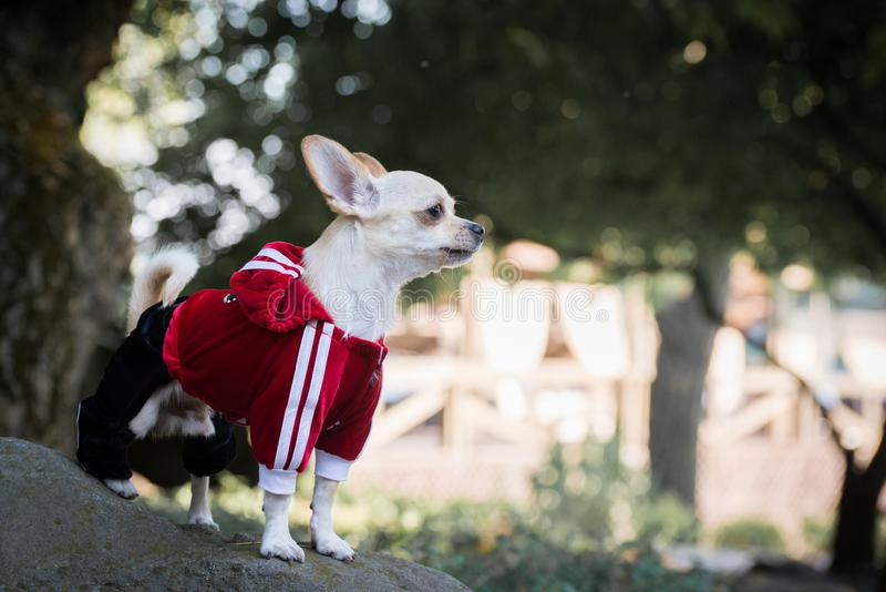 hund i kläder royaltyfria foton