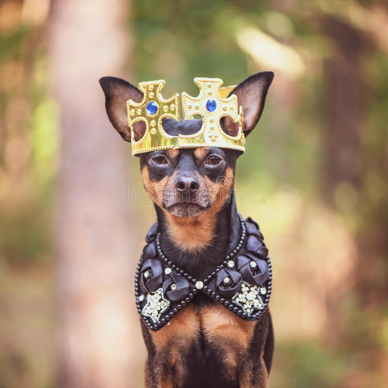 Hund i kronan, i kunglig kläder, på en naturlig bakgrund Förfölja royaltyfri foto