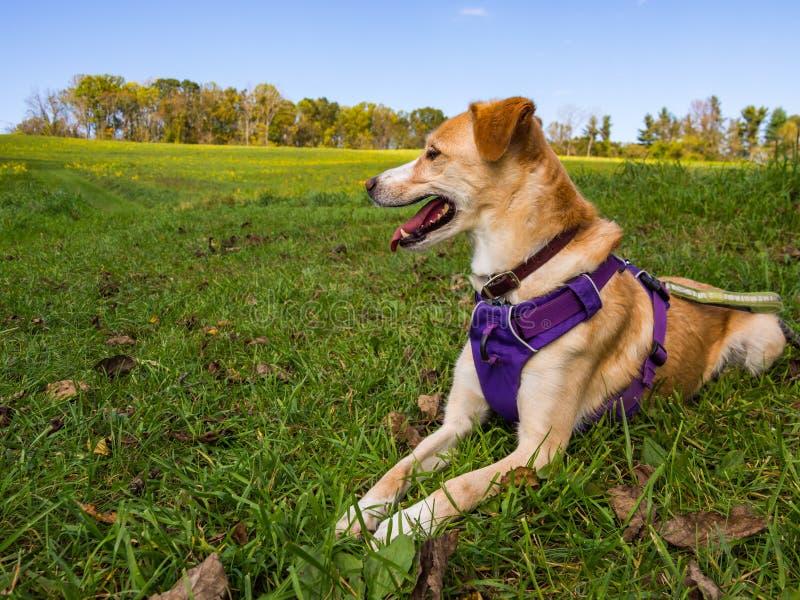Hund i lilasele som lägger i gräsmatta för grönt gräs royaltyfria foton