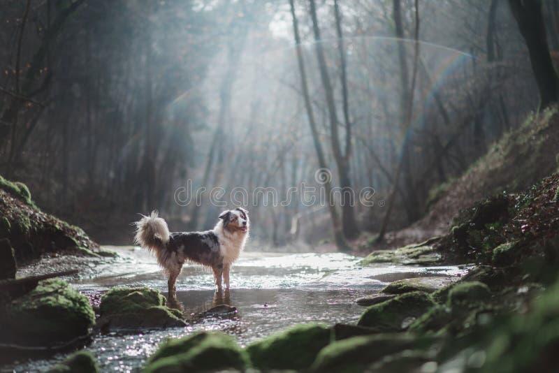 Hund i natur i morgonen Australisk herde på soluppgång nära vattnet Husdjur för en gå fotografering för bildbyråer