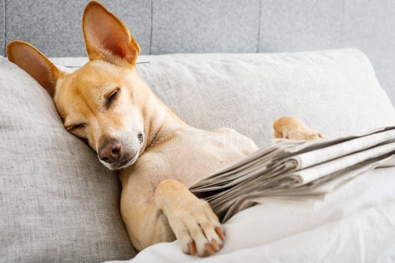 Hund i säng med tidningen arkivbild