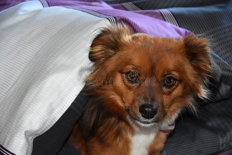 Hund i sängen trots att det inte är tillåtet arkivfoton