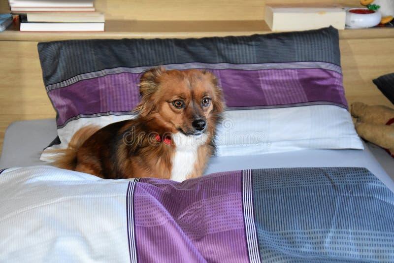 Hund i sängen trots att det inte är tillåtet arkivfoto