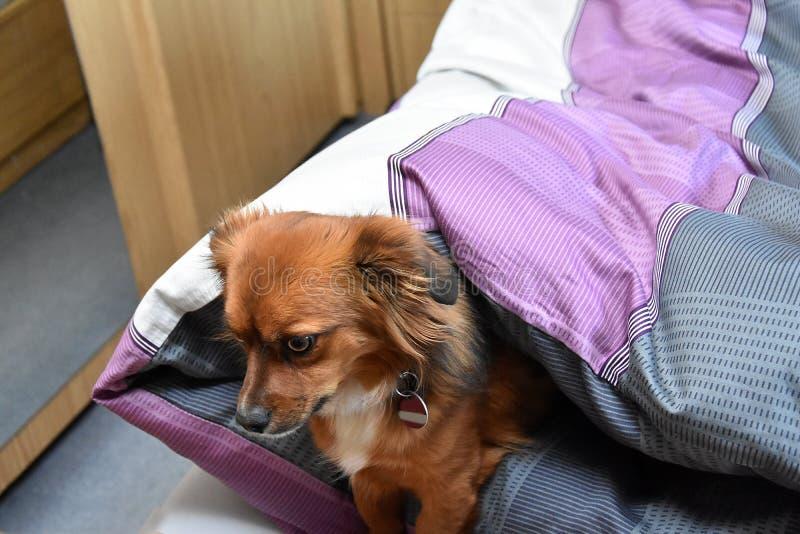Hund i sängen trots att det inte är tillåtet royaltyfri fotografi