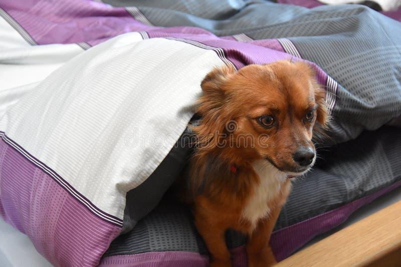 Hund i sängen trots att det inte är tillåtet royaltyfria bilder