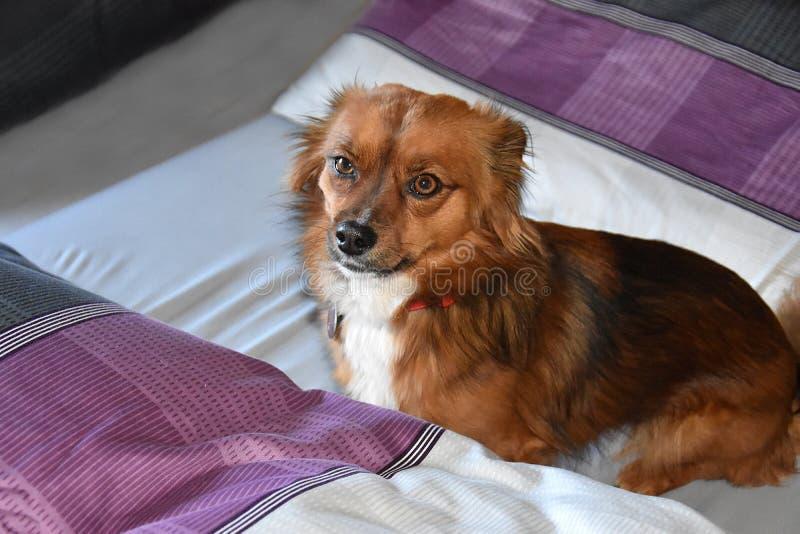 Hund i sängen trots att det inte är tillåtet fotografering för bildbyråer