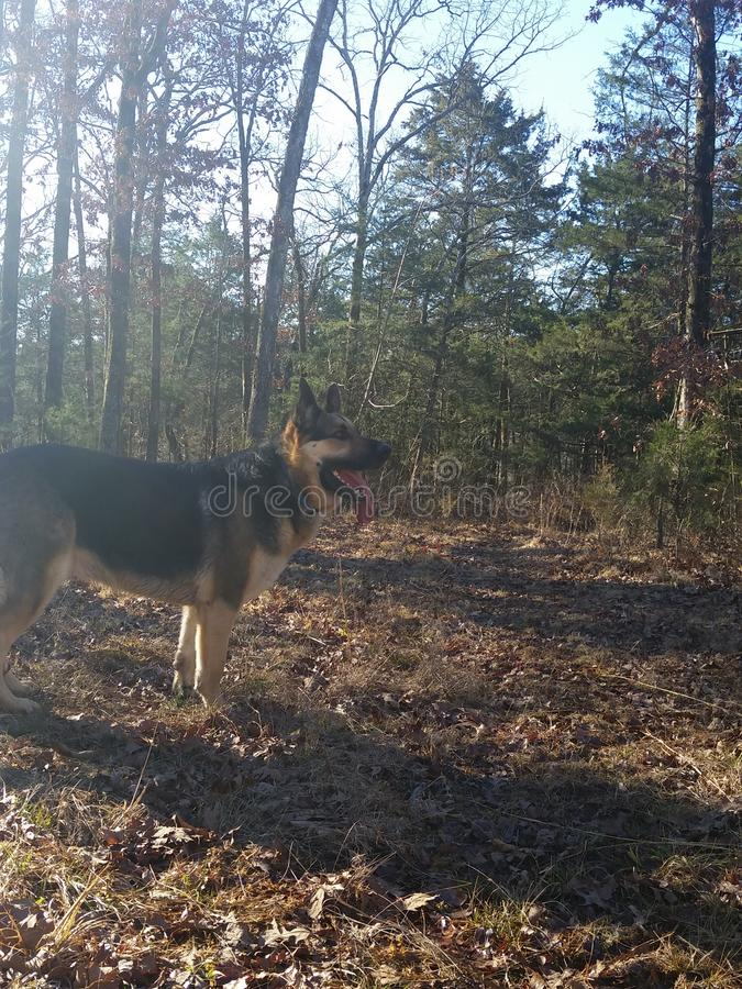 Hund i skogen arkivbilder