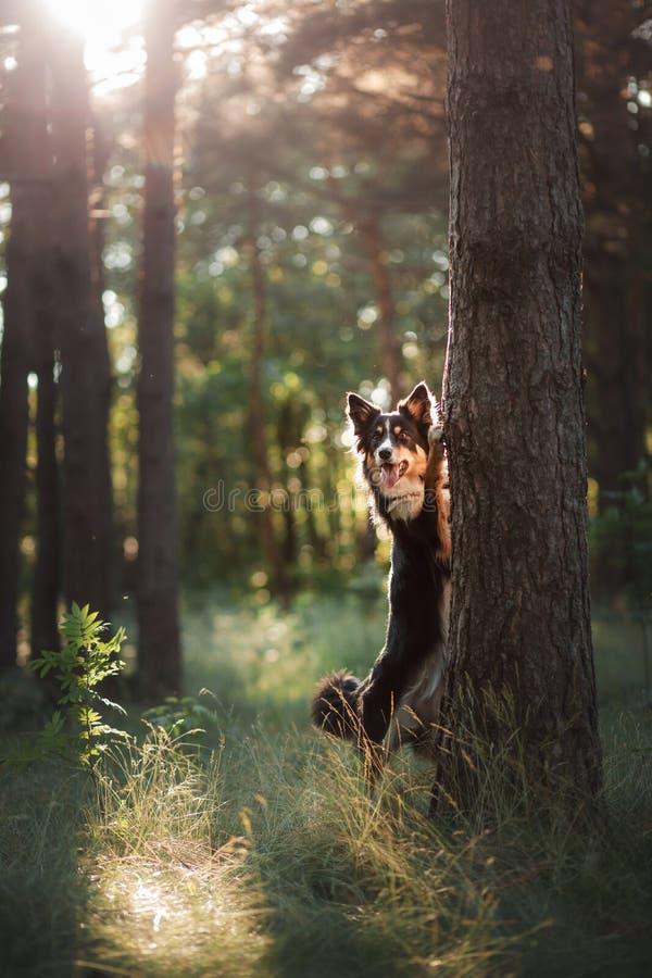 Hund i skogen pipen tricolor border collie i natur Husdjur för en gå arkivbilder