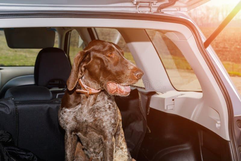 Hund i stammen av en bil royaltyfri fotografi