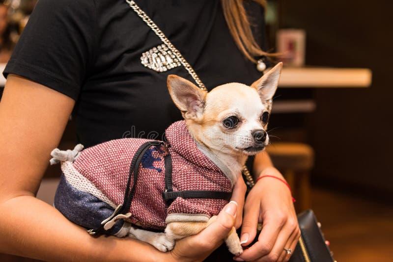 Hund i trendig kläder på händerna av flickan arkivfoton
