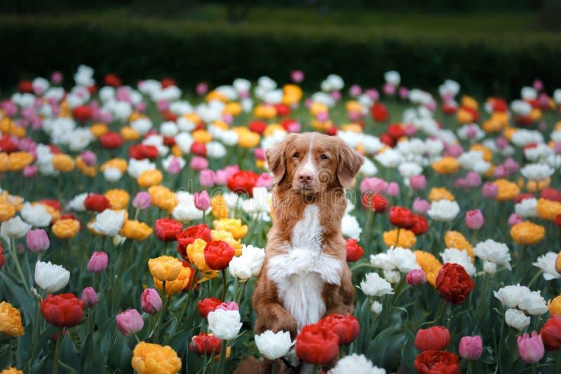 Hund i tulpanblommor Husdjur i sommar i natur Toller royaltyfria foton