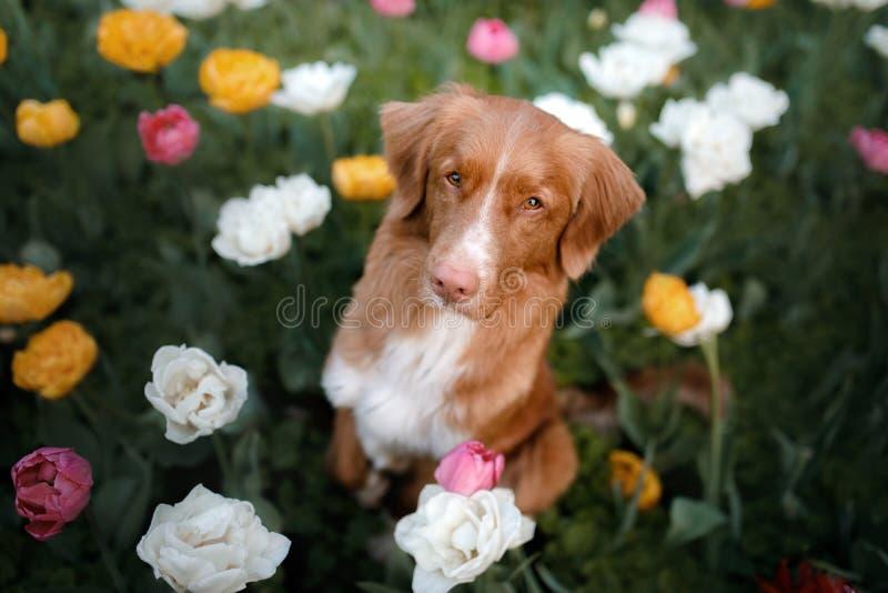 Hund i tulpanblommor Husdjur i sommar i natur Toller royaltyfria bilder
