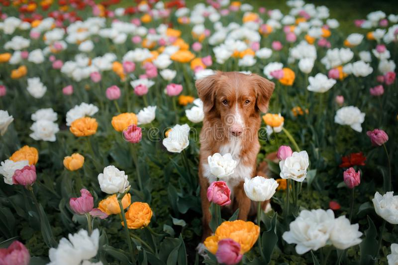 Hund i tulpanblommor Husdjur i sommar i natur Toller arkivfoton